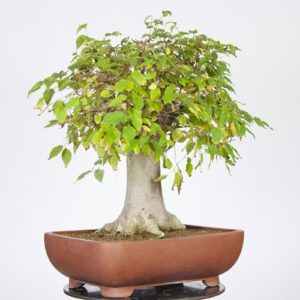 Celtis Australis bonsai