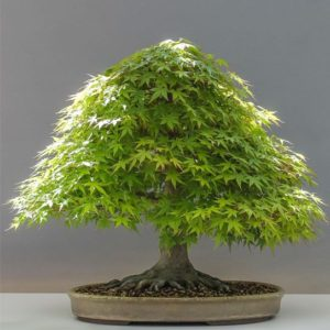 acero o acer bonsai