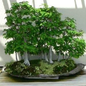 Carpino o carpinus bonsai