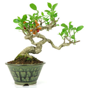 Celastrus bonsai