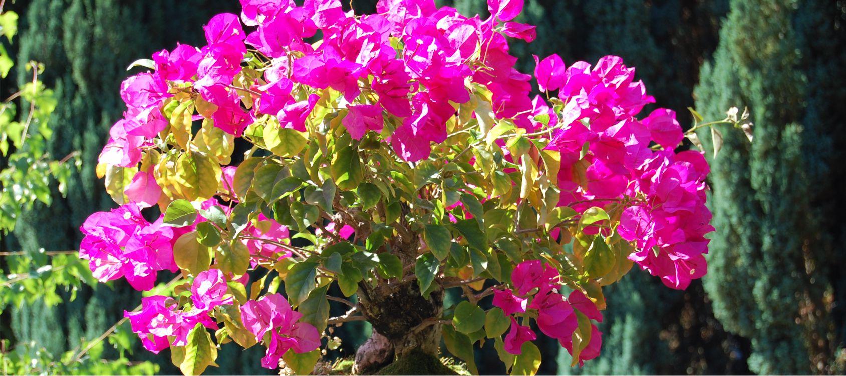 Quando Potare Il Bouganville bougainvillea bonsai - consigli utili sulla coltivazione