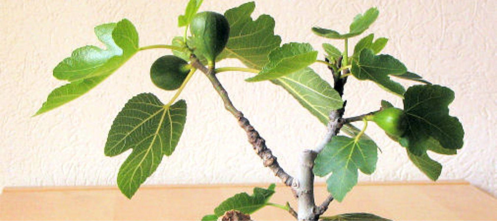 Periodo Migliore Per Potare Quercia fico bonsai - consigli utili sulla coltivazione - vivaio ranieri