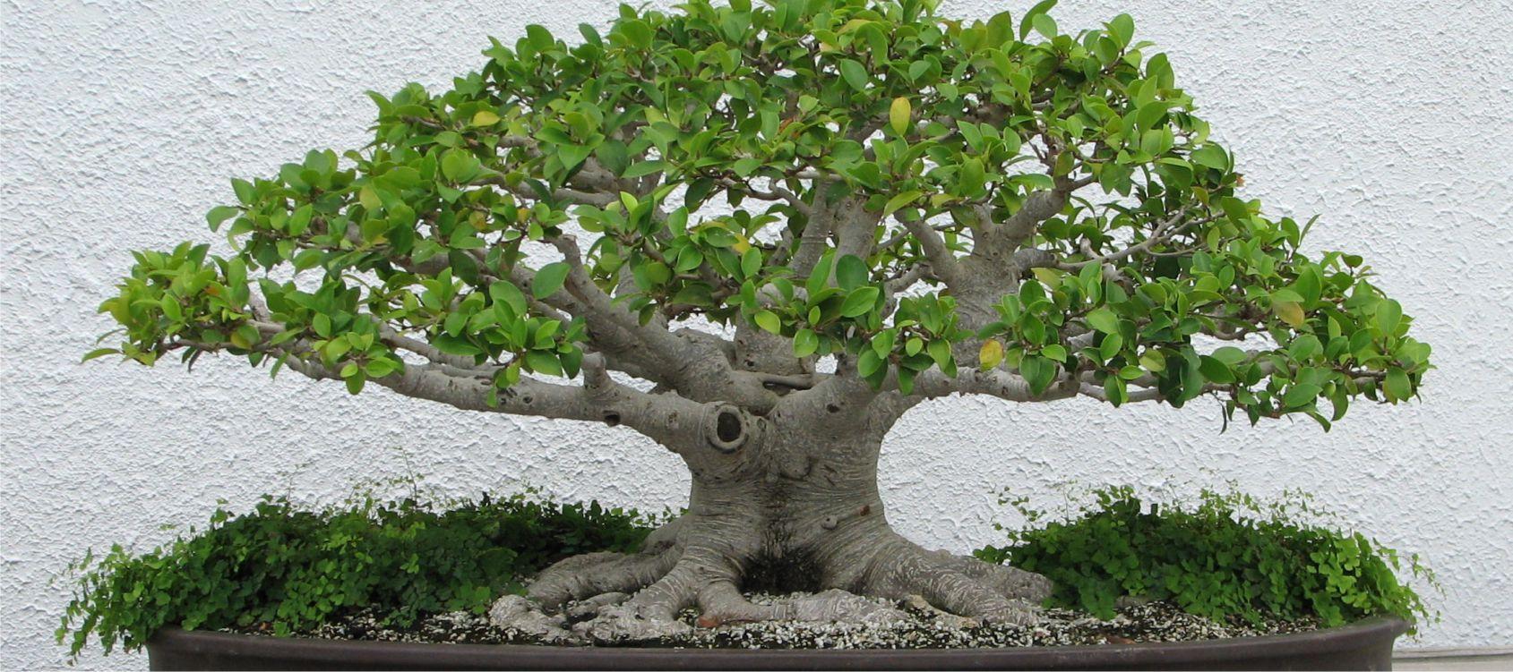 Potare Il Ficus Elastica bonsai ficus ginseng - consigli utili sulla coltivazione