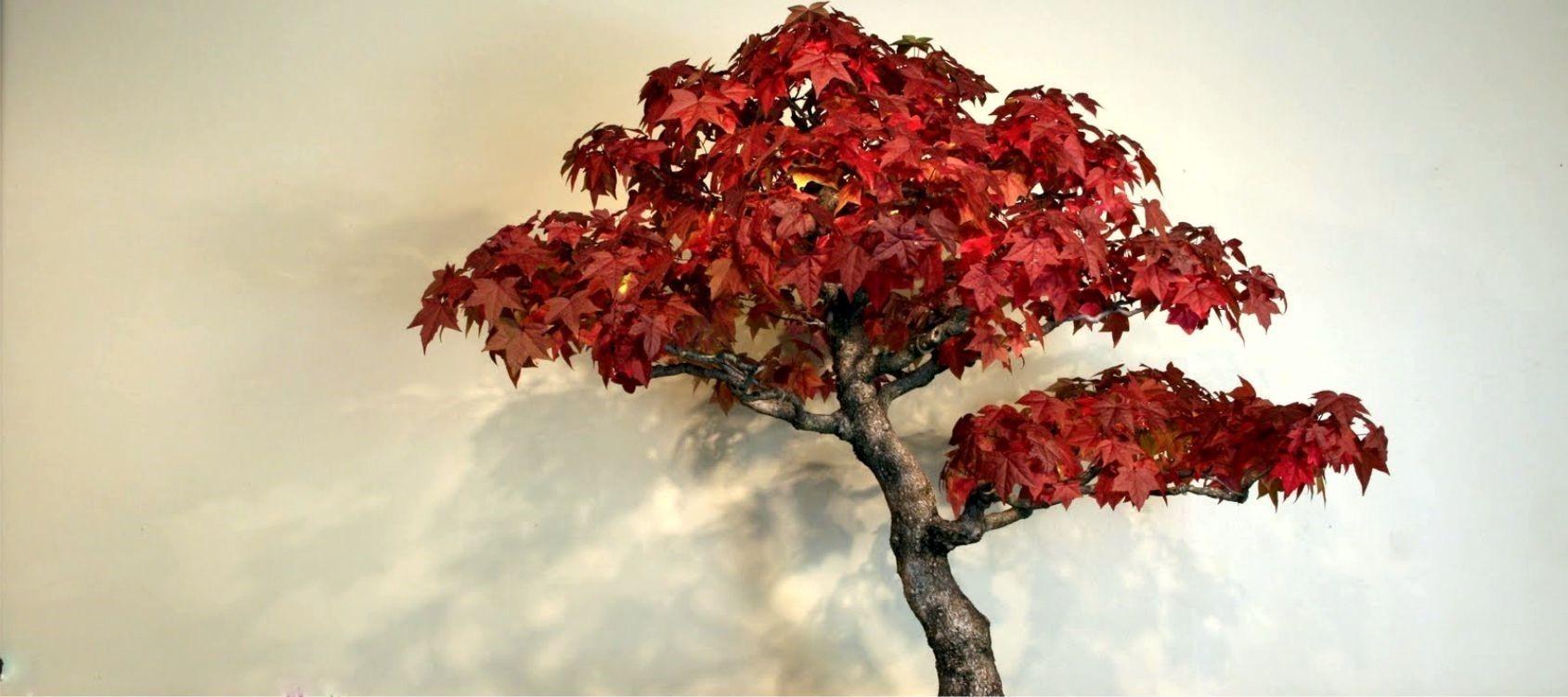 Periodo Migliore Per Potare Quercia liquidambar bonsai - consigli utili sulla coltivazione