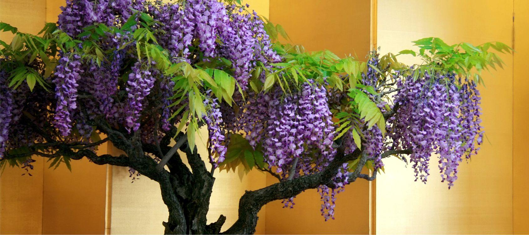 Quando Potare Il Glicine glicine bonsai - consigli utili sulla coltivazione - vivaio