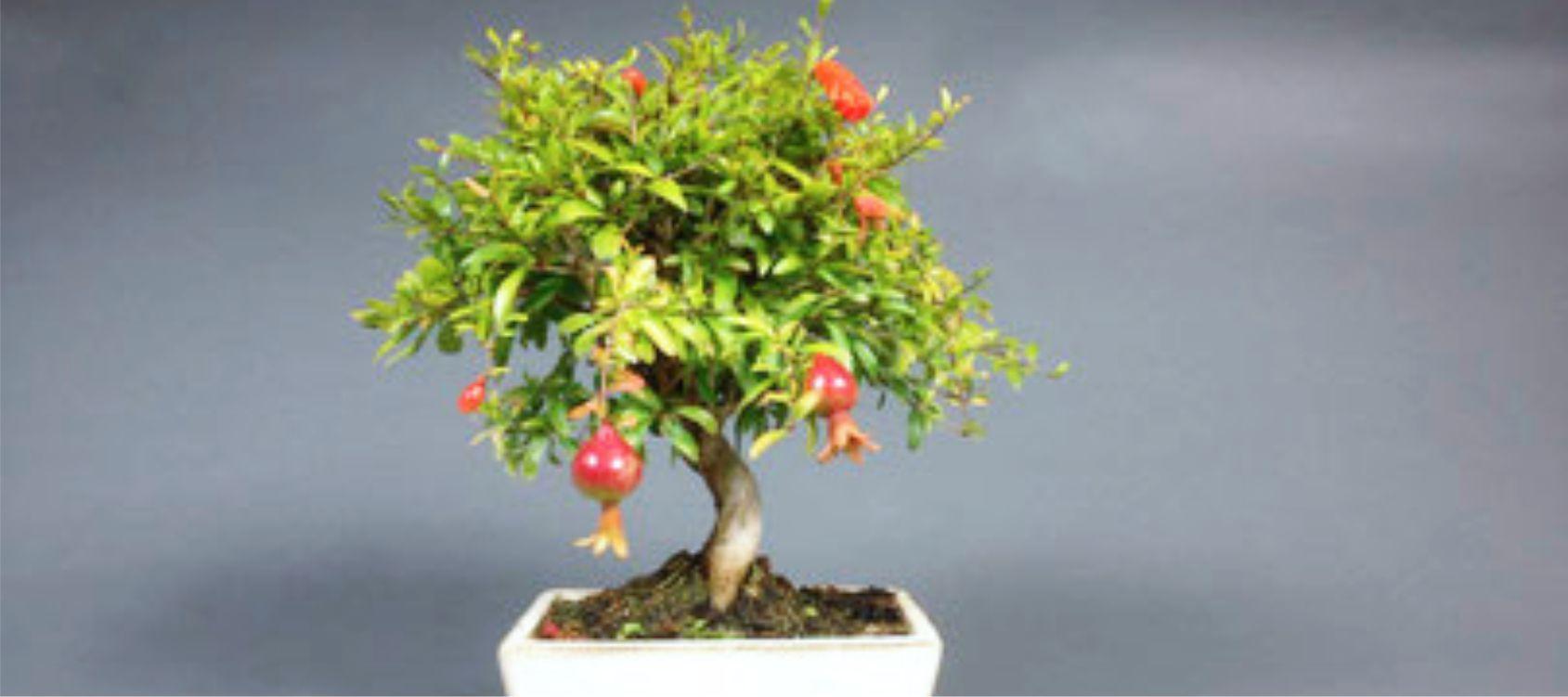 Melograno bonsai consigli utili sulla coltivazione for Alberi in vendita