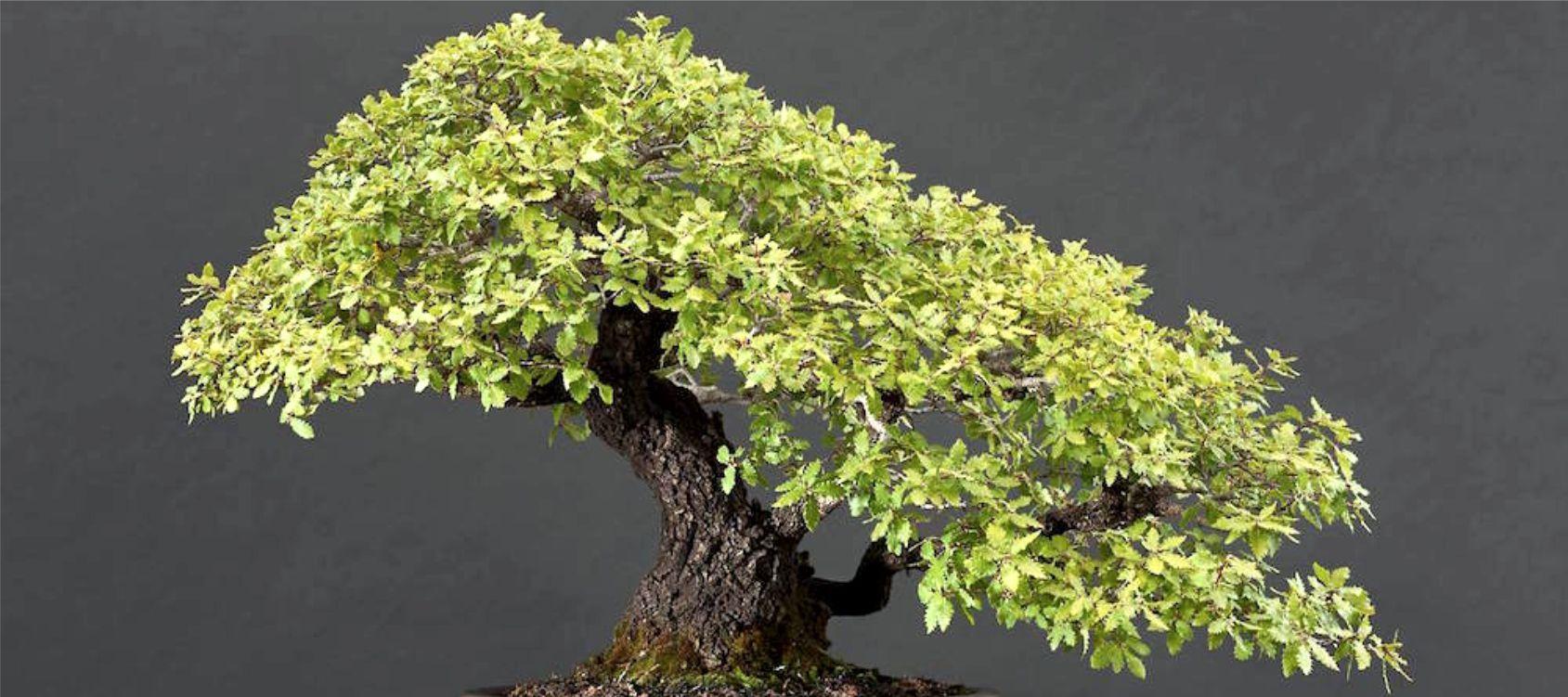 Periodo Migliore Per Potare Quercia quercia o quercus bonsai - consigli utili sulla coltivazione